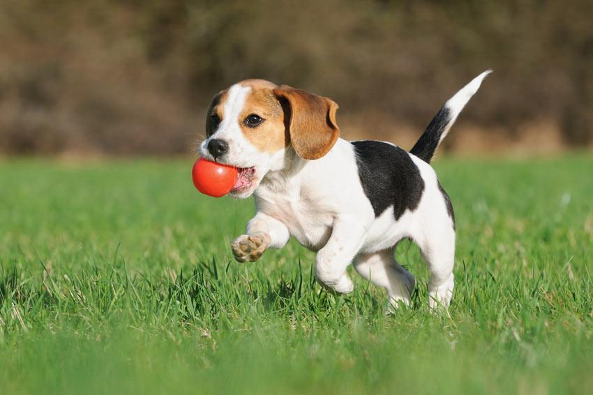 Ein junger Beagle Welpe spielt mit einem Ball