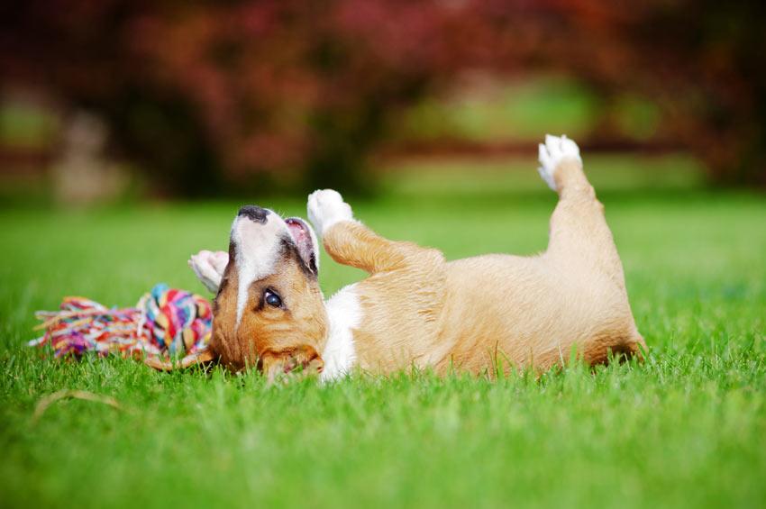 Ein junger Terrier rollt im Garten auf seinem Spielzeug herum