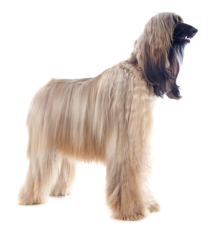 Ein Afghanischer Windhund mit gut gepflegtem, langen Fell