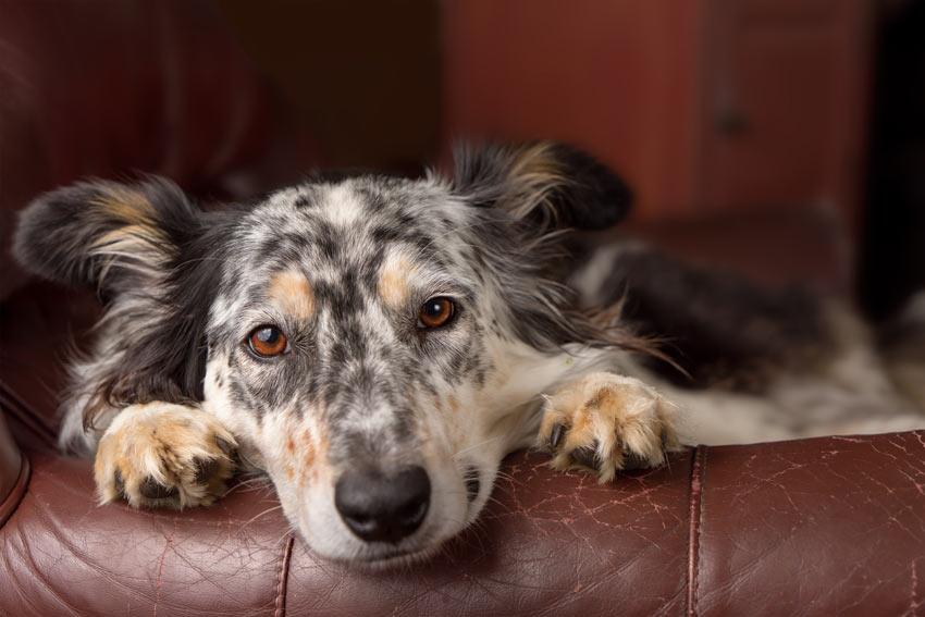 Ein Australian Shepherd ruht sich auf dem Sofa aus