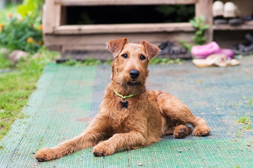 Ein Irish Terrier mit drahtigem Fell