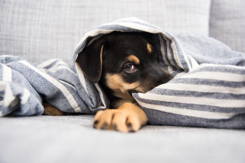 Ein liebenswerter kleiner Mischlingwelpe liegt in seinem Bett