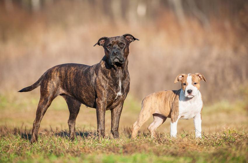 Ein ausgewachsener Stafordshire Bull Terrier neben ihrem Welpen