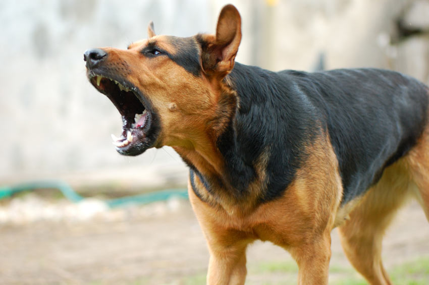 Ein aggressiver Hund wird in Selbstverteidigung beißen, wenn er herausgefordert wird