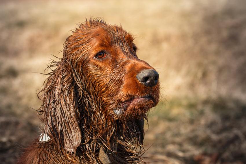 Ein spannender Spaziergang erlaubt Ihrem Hund, eine große Matschlache zu finden