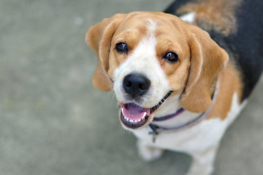 Ein gehorsamer Beagle schaut auf