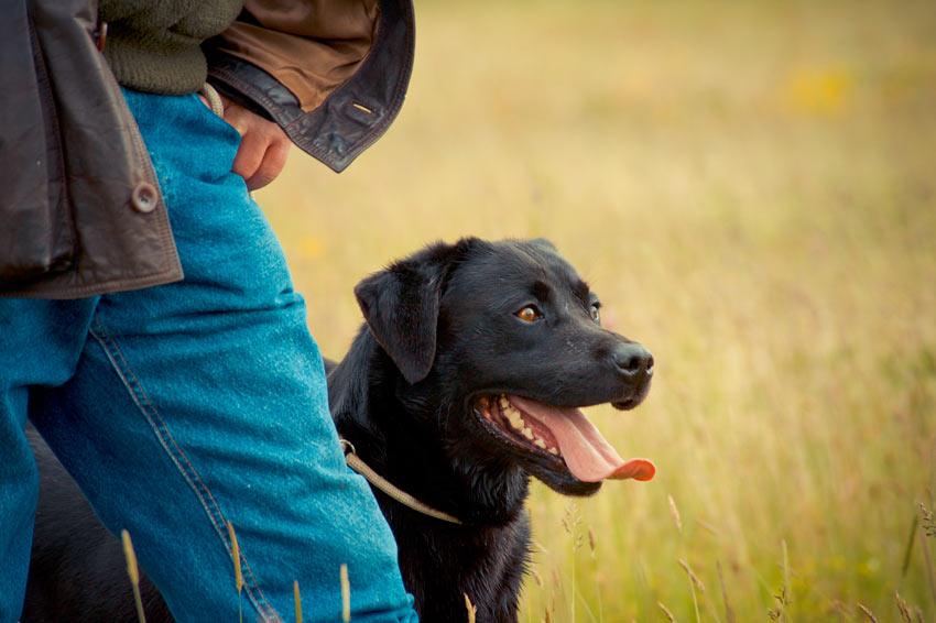 Ein gehorsamer schwarzer Labrador sitzt neben seinem Besitzer