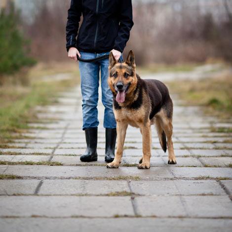 Ein gehorsamer Deutscher Schäferhund an der Leine