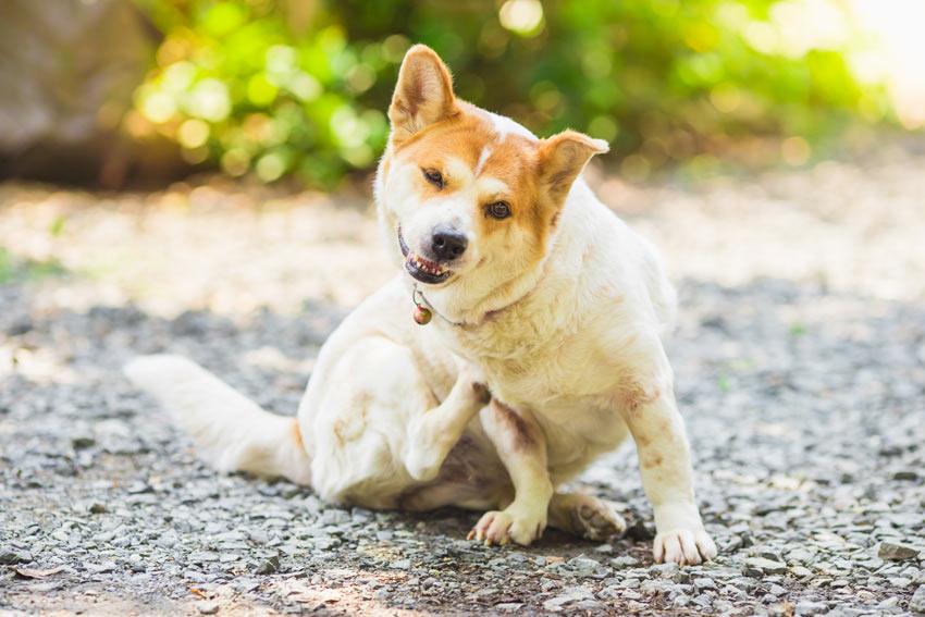 Wenn sich Ihr Hund viel kratzt, dann könnte es gut sein, dass er Flöhe hat