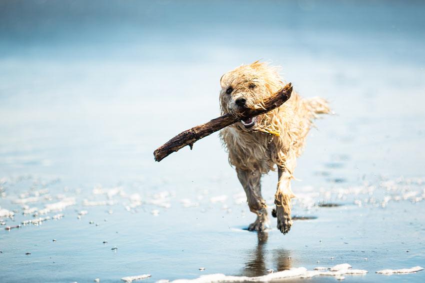 Es ist ziemlich schwierig einem erwachsenen Hund zu viel Bewegung zu geben