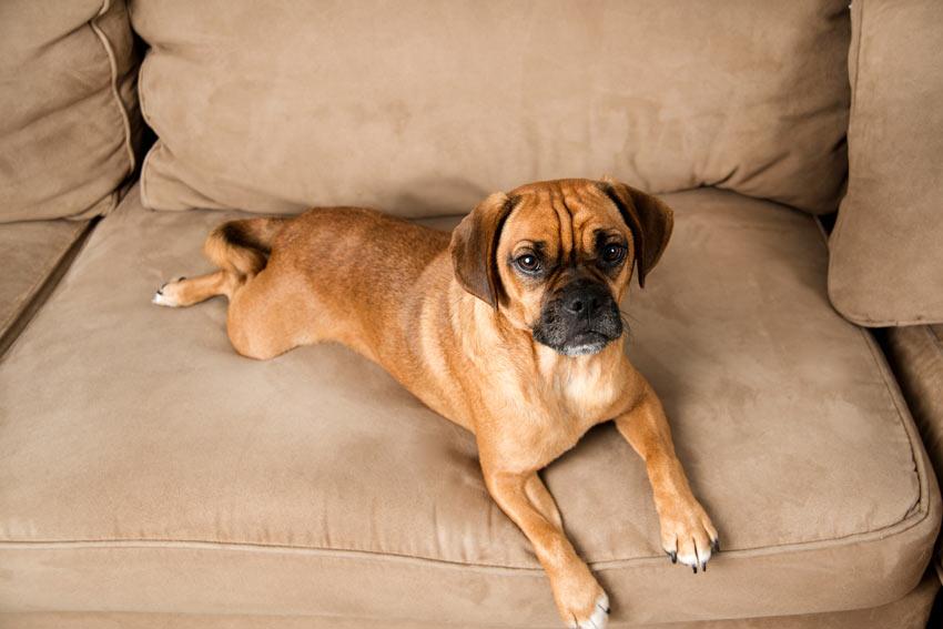Puggle, eine Kreuzung von einem Mops (engl.:Pug) und einem Beagle