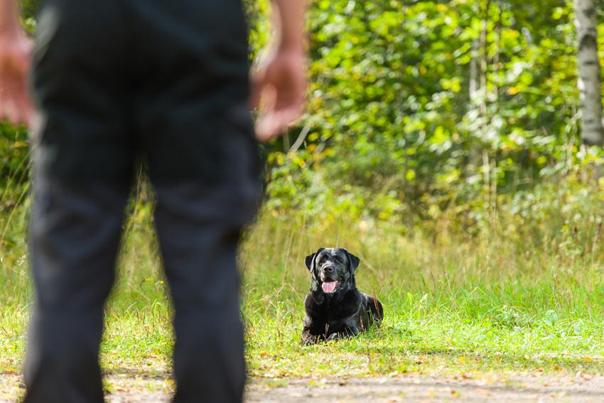 Eine schwarzer Labrador wird darin erzogen, Platz zu machen und zu warten