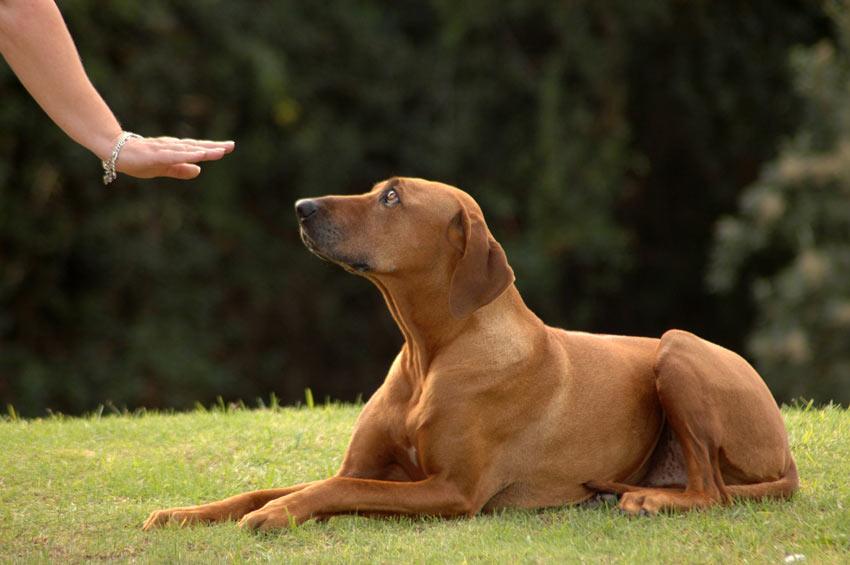 Einen Hund darin zu trainieren, zu bleiben