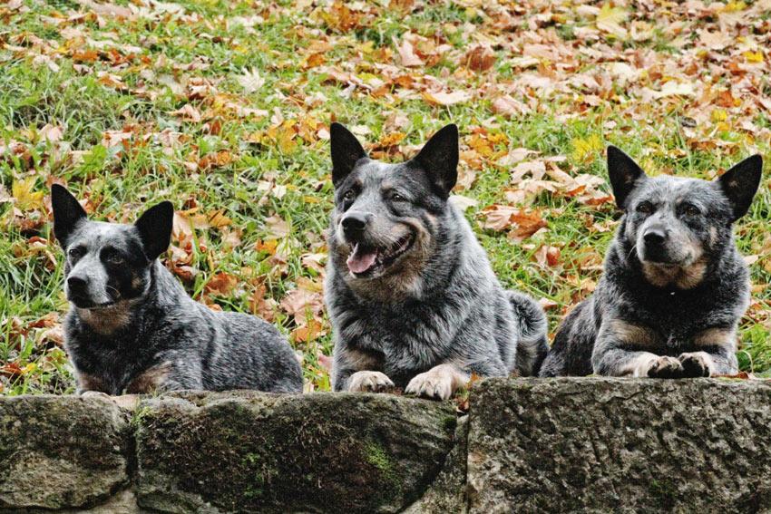 Drei Australian Cattle Dogs mit dickem, mittellangem Fell