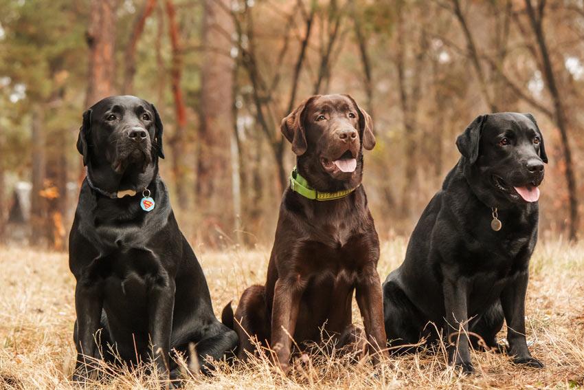 Drei Labradore mit wunderschönem dicken Doppelfell