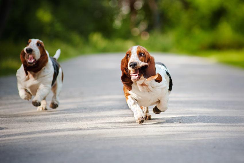 Zwei Basset Hounds rennen eine Straße entlang