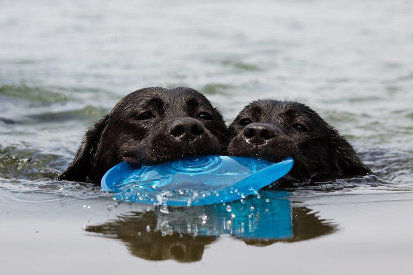 Zwei schwarze Labradore bringen beide schwimmend dieselbe Frisbeescheibe zurück