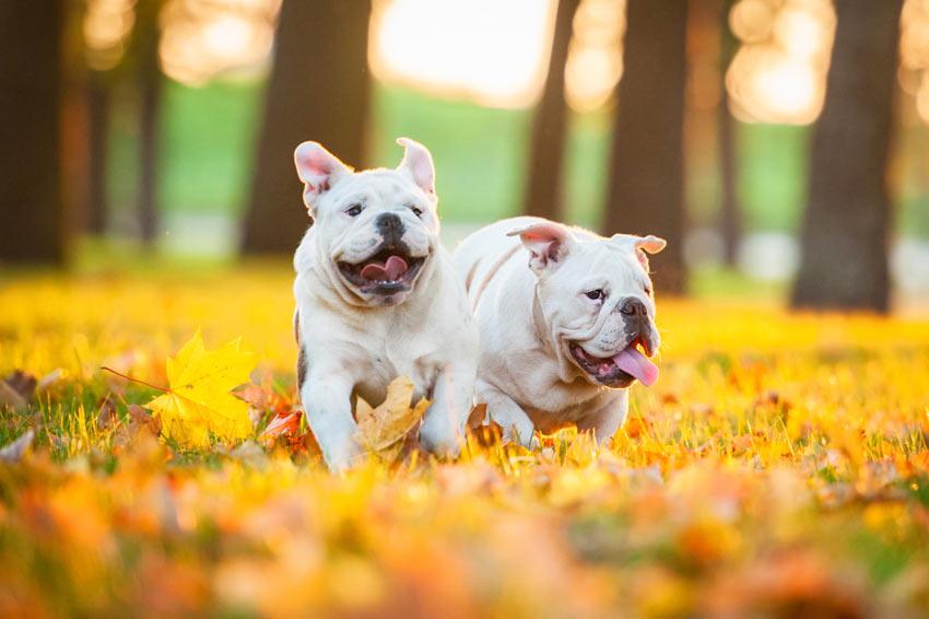 Zwei Englische Bulldoggen spielen draußen