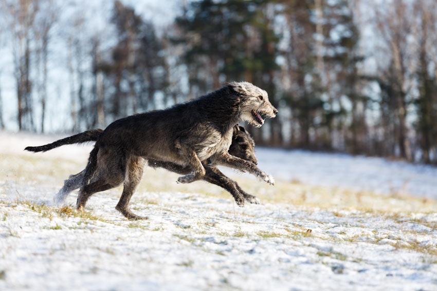 Zwei Irische Wolfshunde tollen im Schnee herum