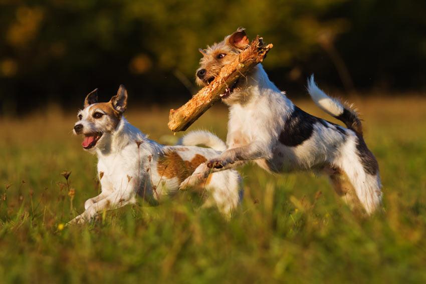 Zwei Terrier bekommen durchs Stöckchen bringen ganz viel Auslauf
