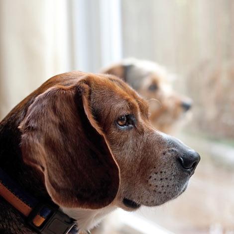 Zwei gelangweilte Hunde, die daheim gelassen wurden, ohne etwas zu tun zu haben