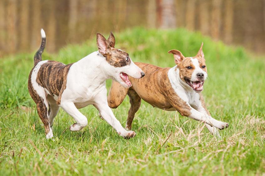 Zwei spielende Hunde rennen im Garten herum