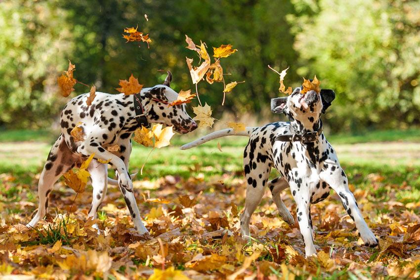 Zwei süße, reinrassige Dalmatiner spielen im Laub