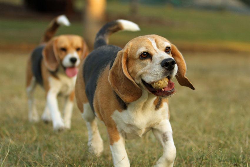 Zwei junge Beagle spielen mit einem Tennisball