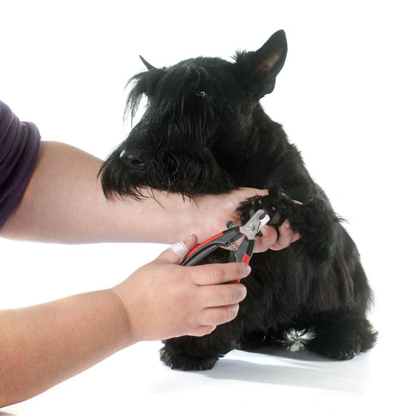 Einem Hund werden die Krallen mit einem Nagelknipser gekürzt