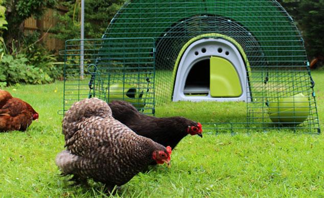 Ein grüner Eglu Classic Hühnerstall  sieht im Garten großartig aus und Ihre Hühner werden es einfach nur lieben!