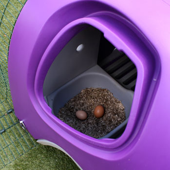 Two freshly laid eggs in the nesting box of a puple Eglu Classic