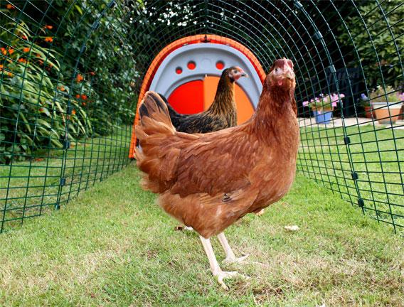 Das Eglu Classic ist der perfekte Anfängerhühnerstall und enthält alles, was Sie für den Beginn der Hühnerhaltung brauchen
