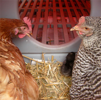 Es ist sehr leicht die Einstreue Ihrer Hühner zu ersetzen und sie werde Ihnen wirklich dankbar sein