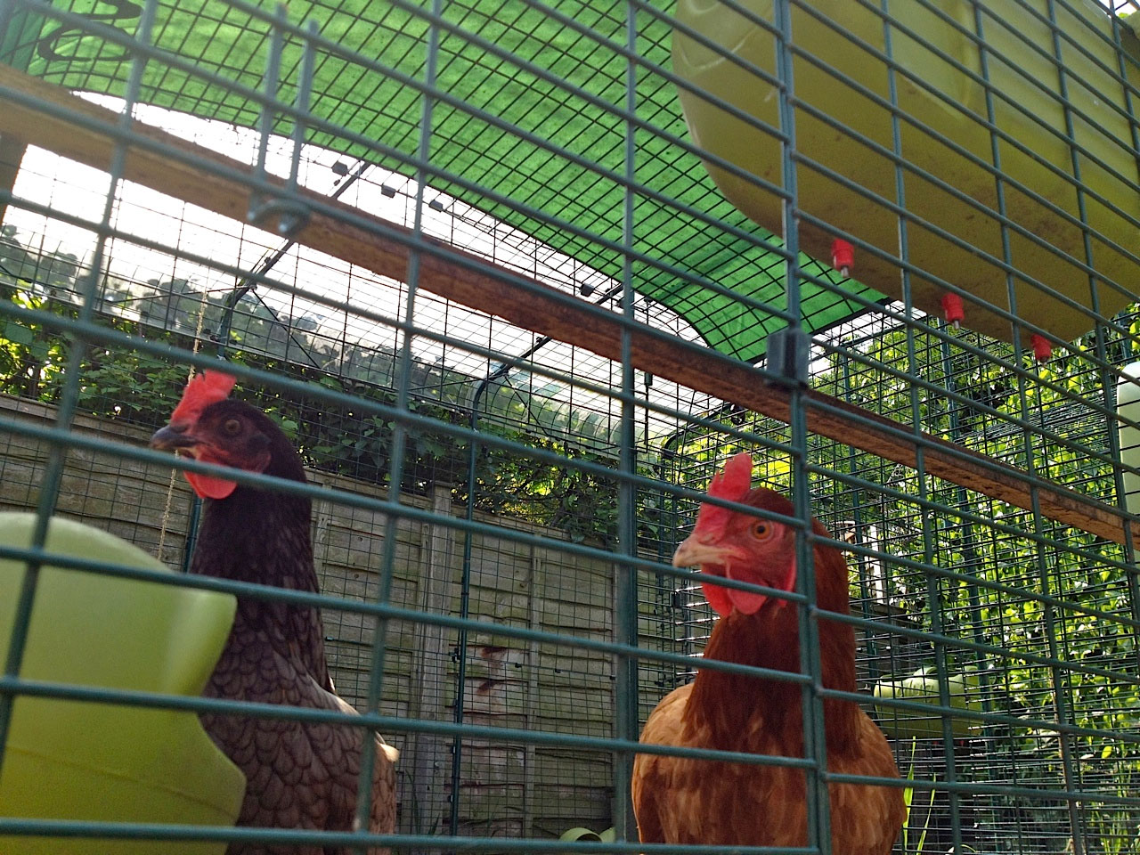 David Gales Hennen genießen in den Herbstmonaten ihr begehbares Gehege