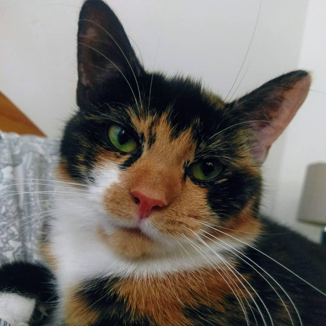 British Shorthair Cat Club Uk