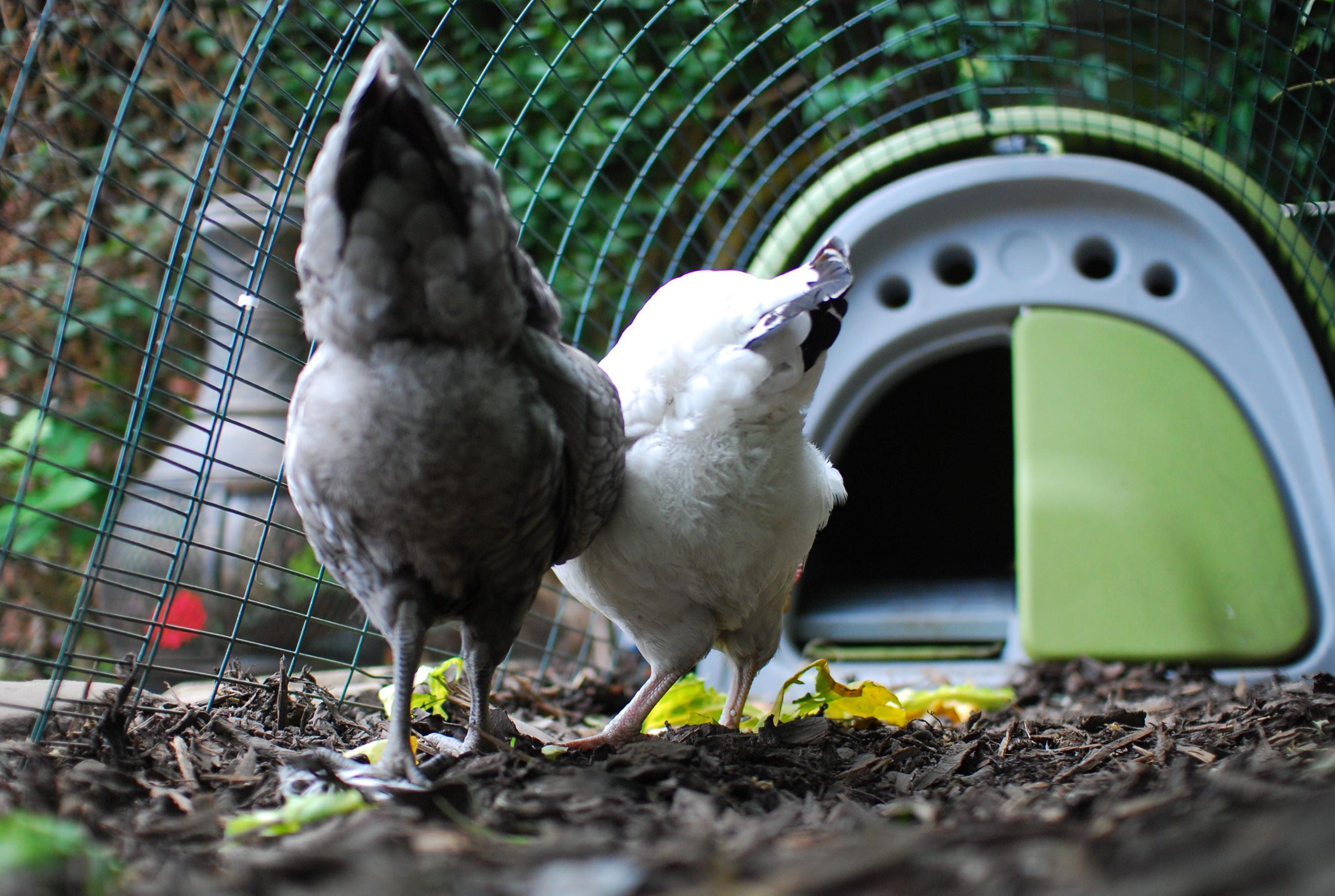 Paul Priggs wunderschöne Hennen suchen in der groben Holzspäne nach Käfern und sind geschützt durch ihren sicheren Auslauf