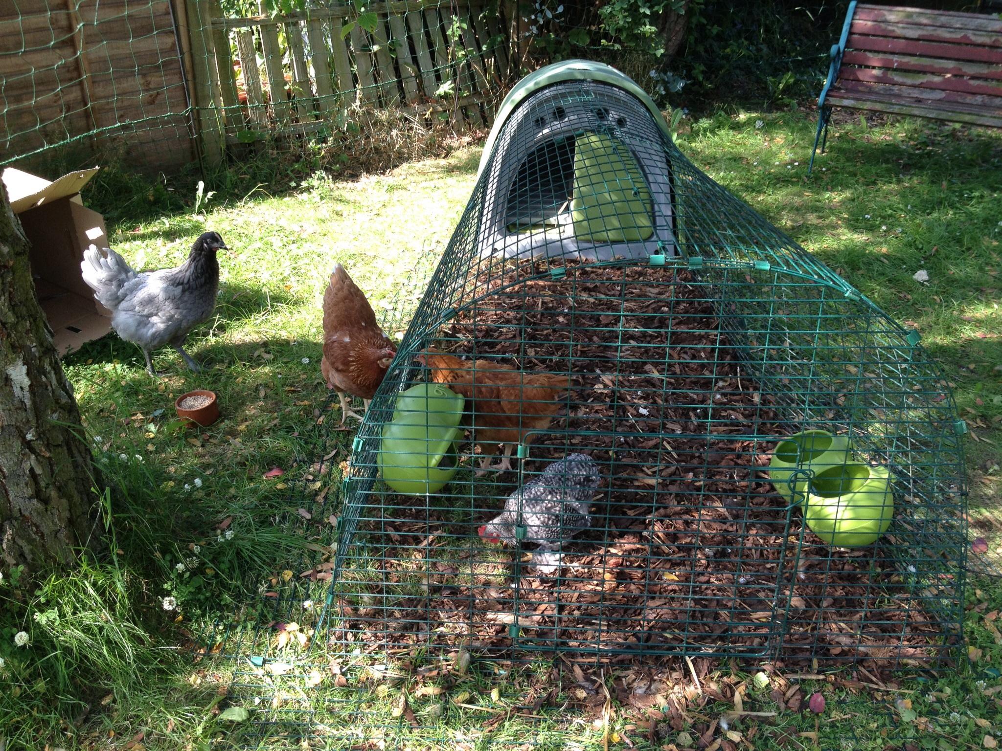 Emilia Taylors Hennen lieben es, in ihrem Eglu Run nach Würmern zu suchen