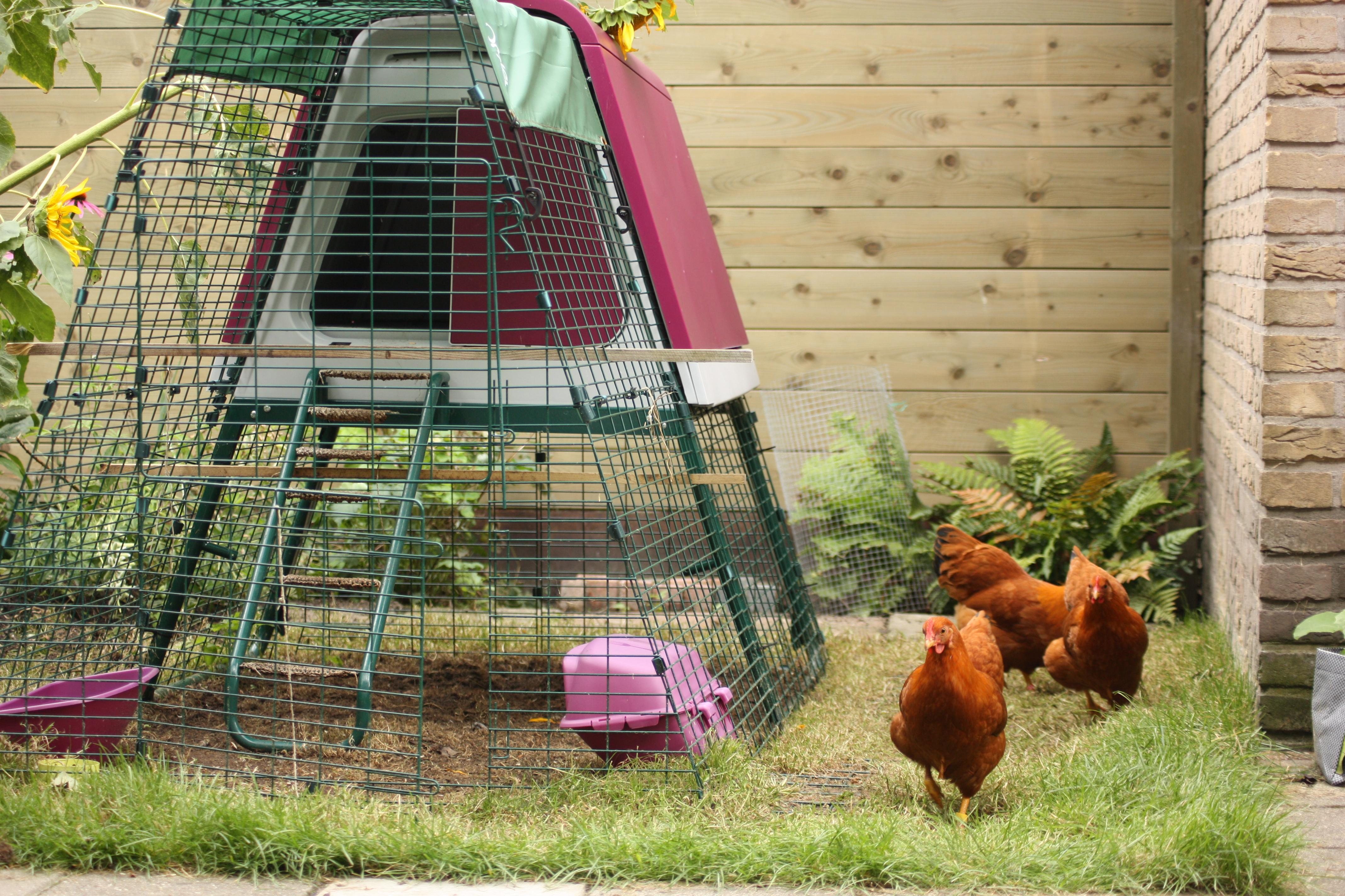 Pauline Snels Hennen lieben den freien Auslauf in ihrem Garten