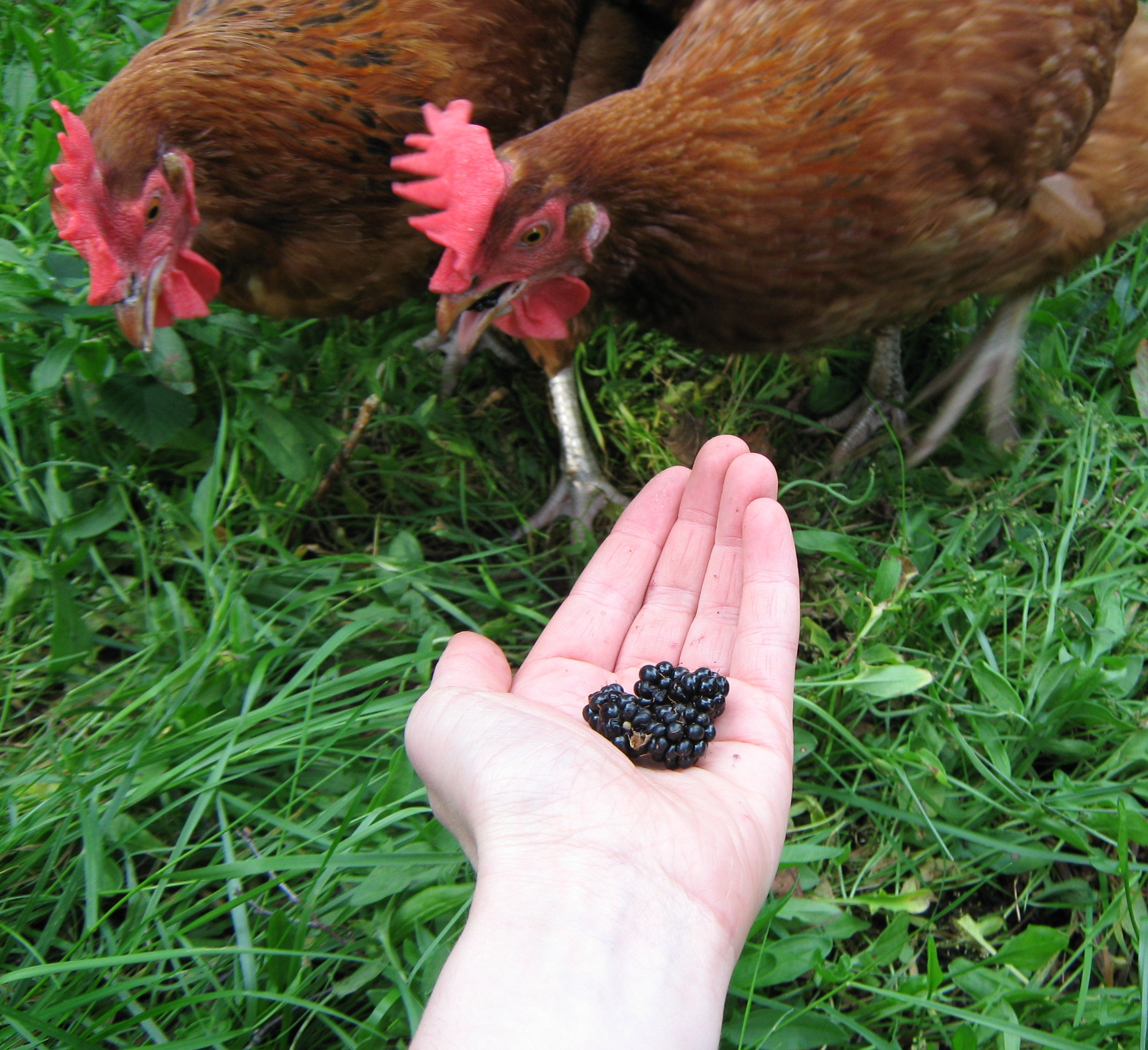 Jessica Umplebys Hühner lieben es, das Fallobst im Garten zu fressen