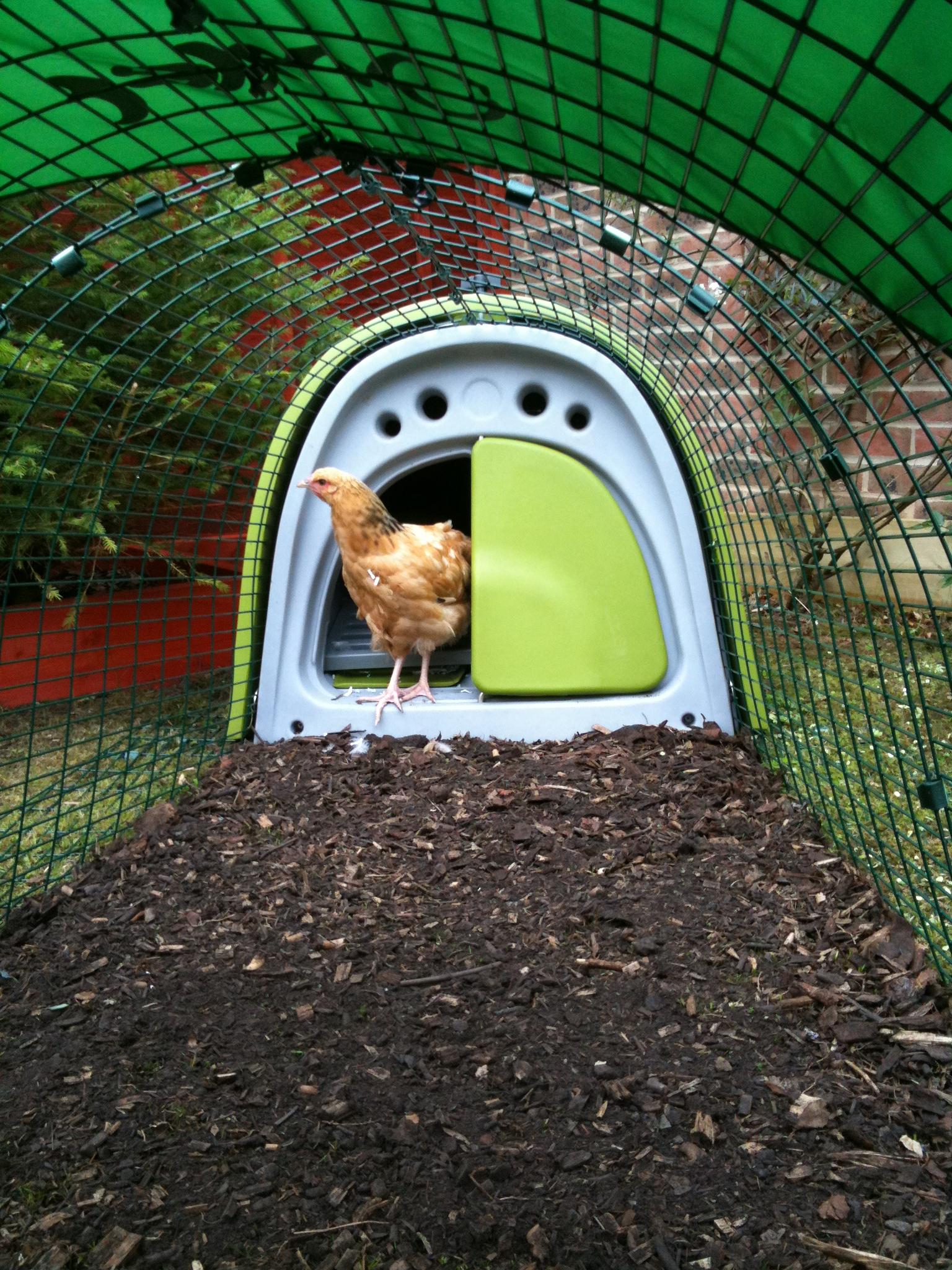 Tim Buswell hat sein Eglu Classic auf ein Bett an Holzspan gestellt, was Hühner lieben