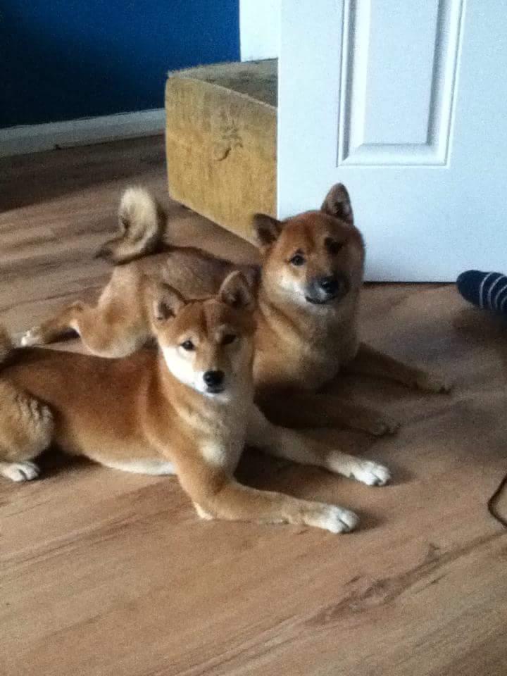 Japanese Shiba Inu | Hunde | Informationen zu den Rassen | Omlet