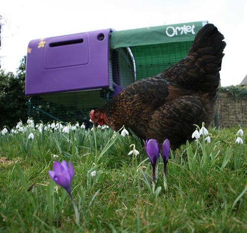 Stephanie Crofts Hennen genießen ihr Eglu Cube und den Auslauf im frühlingshaften Garten